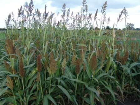 Over 'n Under Sorghum Mix