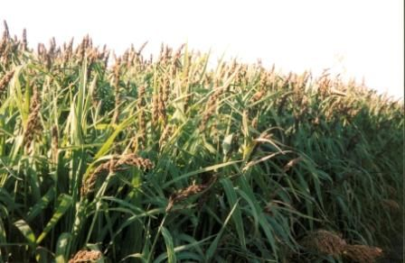 Ambush Millet mix